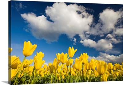 Tulips Under Clear Sky