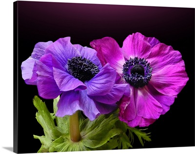Two beautiful Anemone, one in pink and other one in blue.