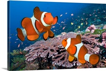 Two Clownfish on tropical coral reef, Komodo Island