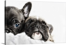 c6b30c70821ac Two French bulldogs puppies snuggled up together in a white fleece