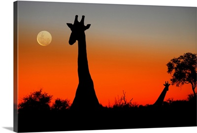Two Giraffes in the Savuti area of Botswana as the sun sets and the moon rises