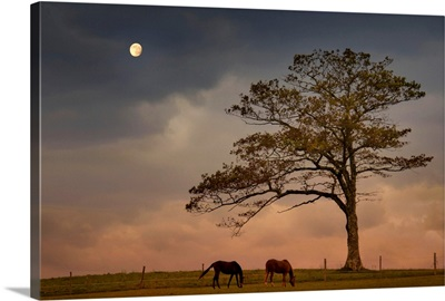 Two horses grazing on hilltop pasture under lone tree in early evening
