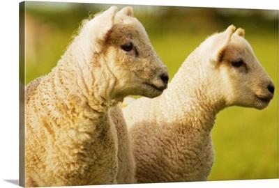 Two lambs in field.