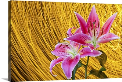 Two pink stargazer lilies with spinning light trails behind create star trail effect