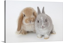 Two rabbits, Netherland Dwarf and Holland Lop.