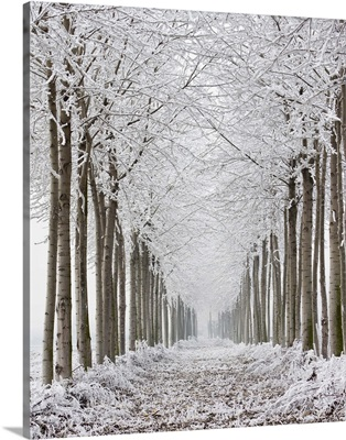 Two rows of frozen trees.