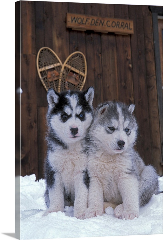 Two Siberian Husky Puppies Sitting In The Snow Wall Art Canvas