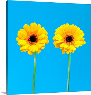 Two yellow flowers on blue background.