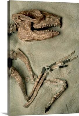 Upper Body Of Notoungulata Fossil