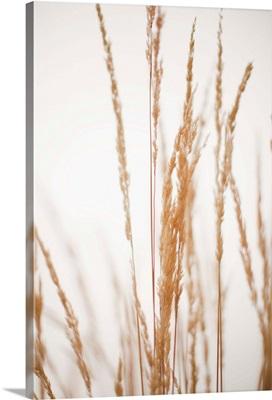 USA, Utah, Salt Lake City, Close-up view of grass straws