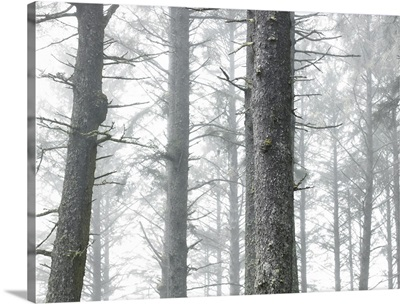 USA, Washington, Kalaloch, Olympic National Park, trees in fog