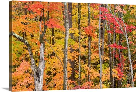 Vibrant autumn tree leaves, White Mountains, New Hampshire
