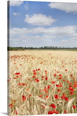 View of field of poppies.