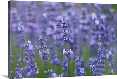 View of lavender flowers (Lavandula angustifolia).