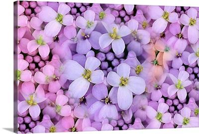 View of light purple wildflower, candytuft, Iberis.