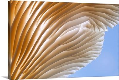 Washington, Oyster Mushroom - detail of gills