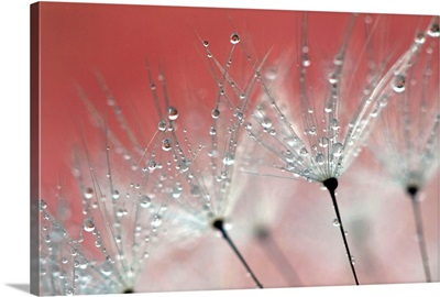 Water droplets on a dandelion with the color from blossom in the background.
