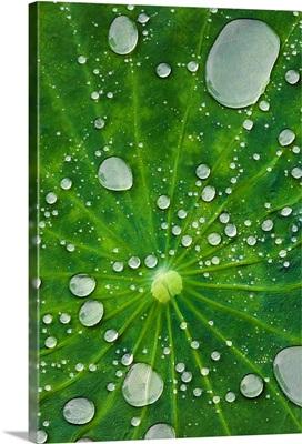 Water droplets on a lotus leaf