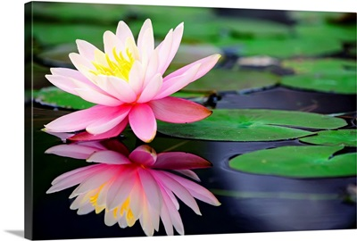 Water lily in lake, Taiwan.