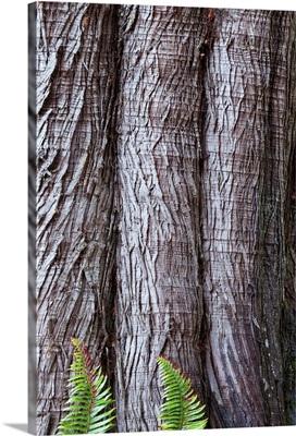 Western red cedar Thuja plicata bark with Sword ferns Polystichum Munitum at base
