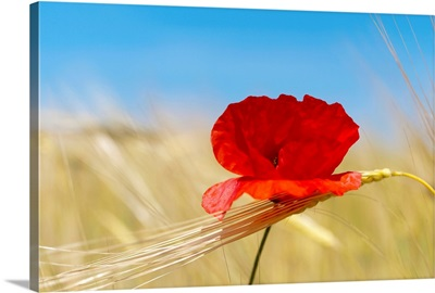 Wheat stalks and poppy in field with blue summer sky as background.