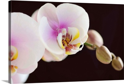 White and pink phalaenopsis orchids, dark background.