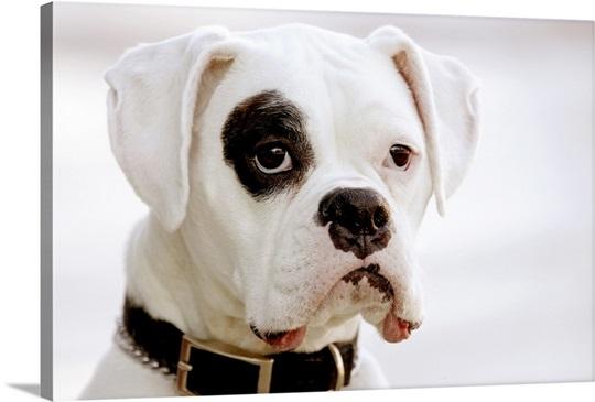 White Boxer Dog Wall Art Canvas Prints Framed Prints