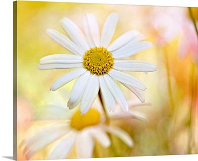 White daisies in bright yellow sunlight, Australia.
