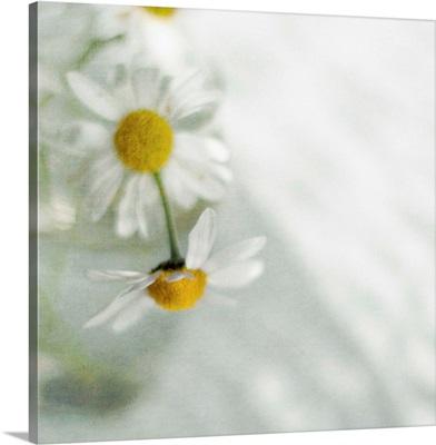 White daisies in glass vase.