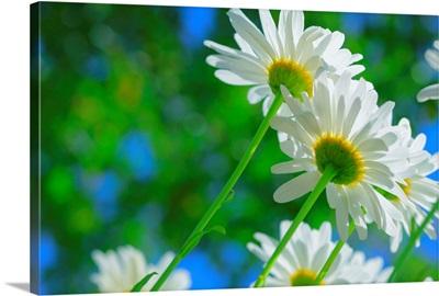 White daisies in sunlight.