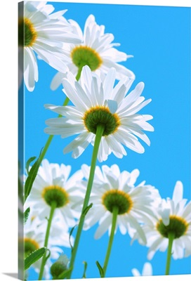 White daisies on aqua color sky.