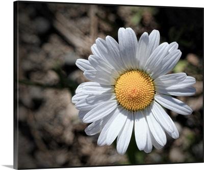White daisy flower.