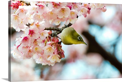 White-eye and cherry blossoms.