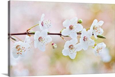 White flowers of spring cherry blossom on single stem.