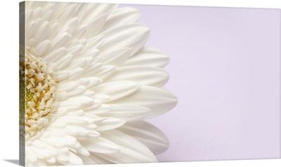 White gerbera daisy on lavender background.