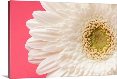 White gerbera daisy on pink background.