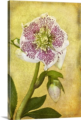 White Hellebore flower with purple speckles.