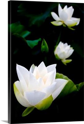 White lotus on black background.