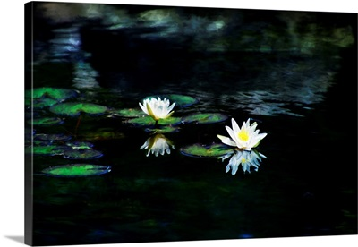 White Lotus Water Lily Grow In The Garden Pond