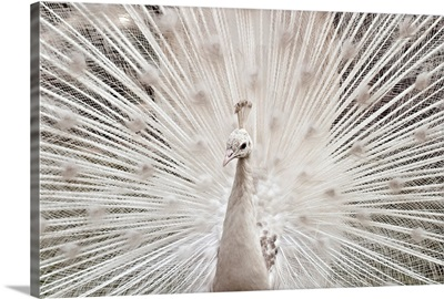 White peacock, Lahore.