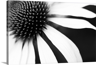 White petals on a black background radiating from the centre of the flower