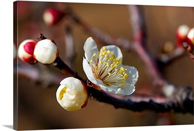 White plum blossoms in sunlight.