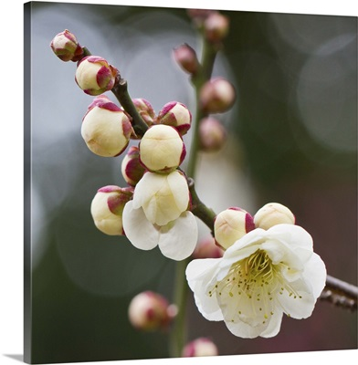 White plum blossoms With bokeh background.