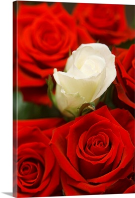 White Rose Between Red Roses