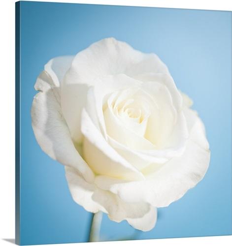 White rose on light blue background. Wall Art, Canvas Prints, Framed ...