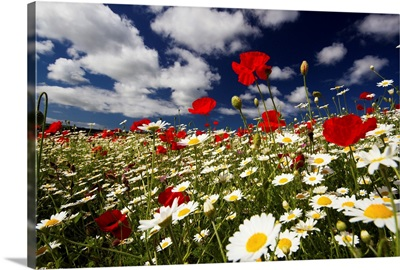 Wide angle view of meadow of poppies and daisies, Cornwall, England