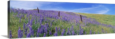 Wild flowers in a meadow, California, USA