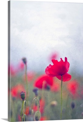 Wild red poppies with single poppy in focus.