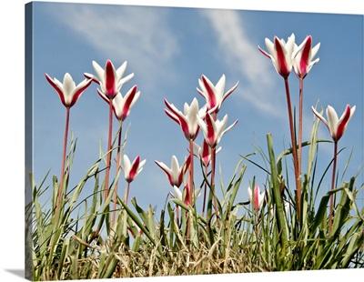 Wild tulips against sky.