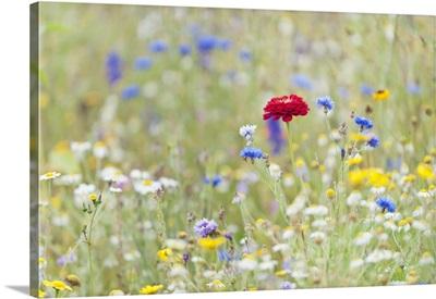 Wildflowers, Devon, United Kingdom